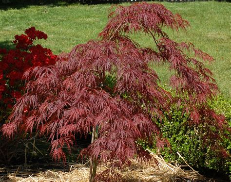crimson queen japanese maple trees growing tips