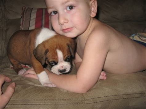 how much are bullmastiff puppies boxer and bullmastiff puppies fleur de lis kennel