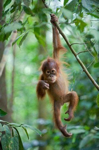 just monkeying around ski coaches hang from trees wearing baby orangutan hanging from a tree on its own kawaii