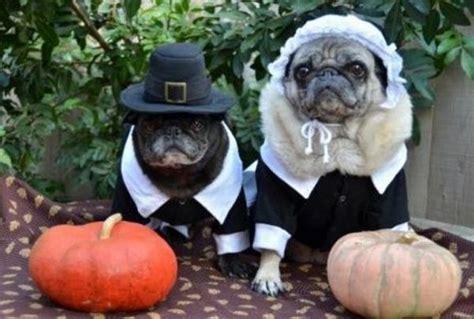 thanksgiving pug pug pilgrims pugs in costume
