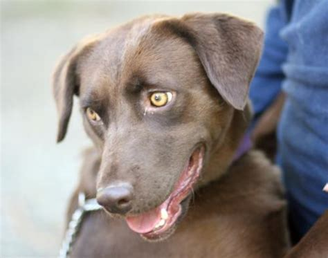 chocolate lab mix puppies chocolate lab beagle mix puppies quotes