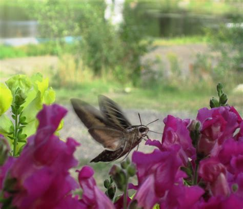 how to keep moths away from front door white lined sphinx moths fluttering by