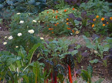 Best Flowers For Vegetable Garden Marigolds Just A Pretty Flower Or Much More Veggie Gardening Tips