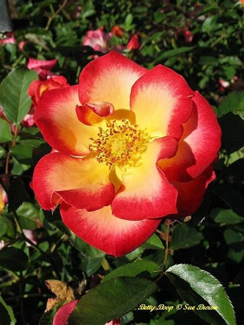 bett rosa plantfiles pictures floribunda betty boop rosa
