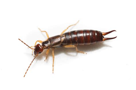 Ever find earwigs in your house? | TigerDroppings.com
