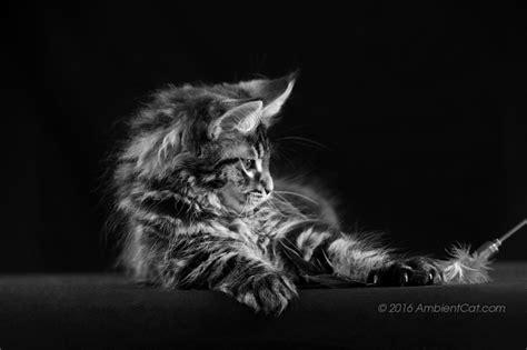 gatto in appartamento gatto nero animali appartamento 7406328