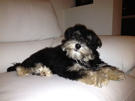 havanese and black and havanese pictures to pin on pinsdaddy