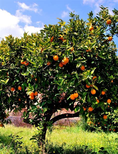 tree with small orange fruit polis orchard vavla rustic retreat angelos polis