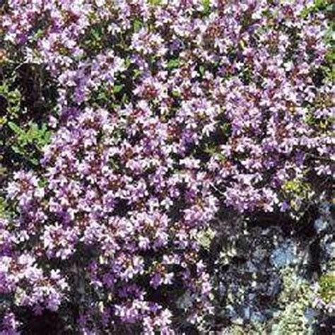 Best Plant For Indoor Low Light Creeping Thyme Seeds Thymus Serpyllum Ground Cover Seed