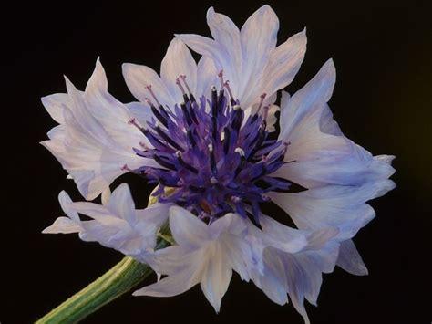 fiore fiordaliso fiori fiordaliso fiori di piante caratteristiche dei