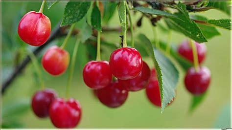15 wallpaper cantik gambar buah cherry segar www buahaz