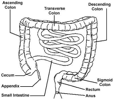 diagram of bowel intestines and colon diagram images