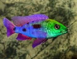 most colorful cichlids cichlids and sharks tropical fish