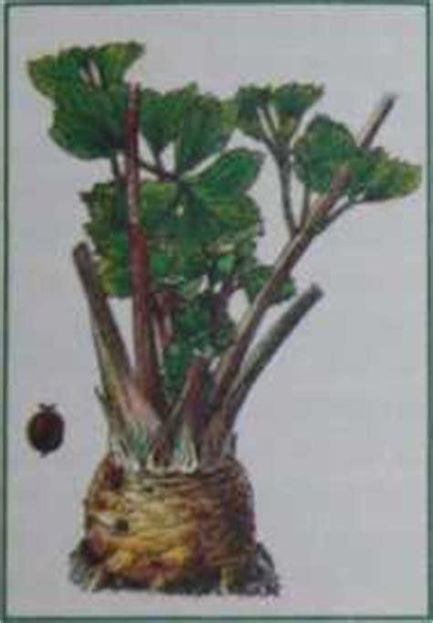 sedano selvatico apium graveolens erbe medicinali