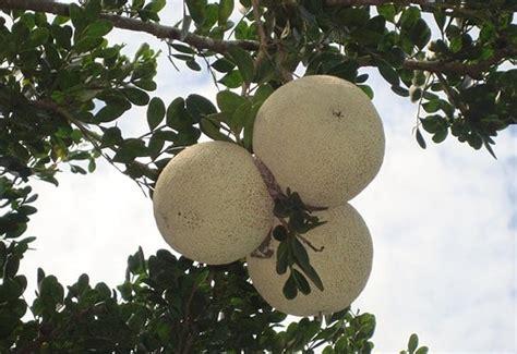 wood apple farming bael information guide agri farming