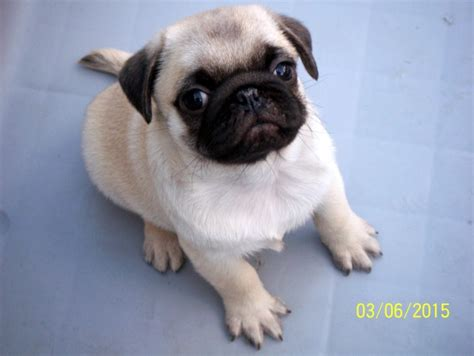 pug puppies for sale birmingham pug puppies for sale birmingham west midlands pets4homes
