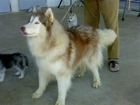 pug puppies for free adoption in bangalore for sale siberian husky puppies for sale adoption from karnataka bangalore