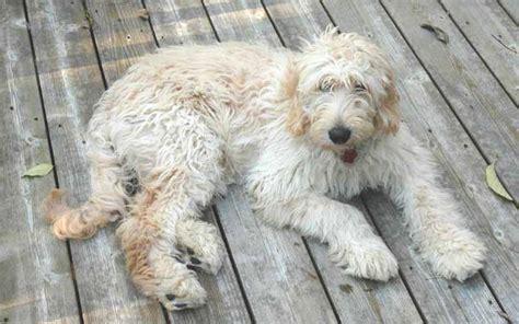 Goldendoodle Doodle Hund Doodle Hunderassen