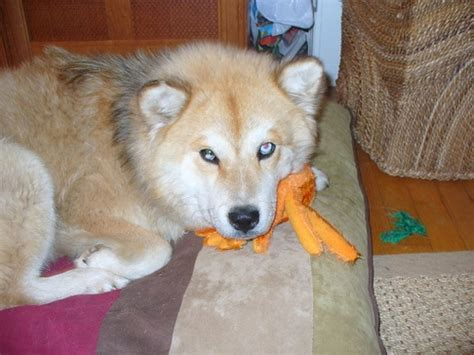 husky chow mix puppies chusky siberian husky chow mix info puppies temperament pictures