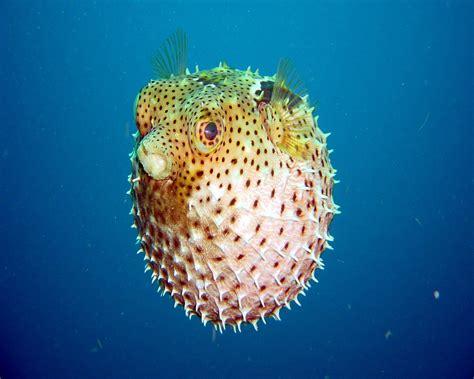google images fish blow fish google skins blow fish google backgrounds blow