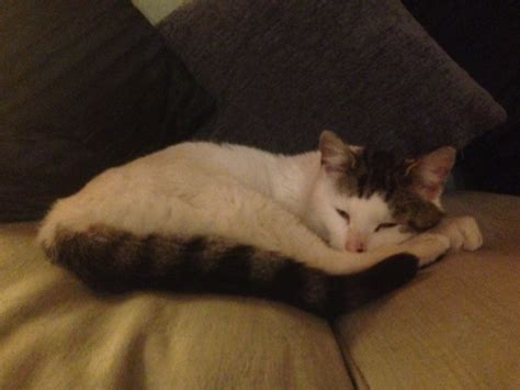van pattern cat definition scruffy kitty rehomed animals rehomed rspca tameside