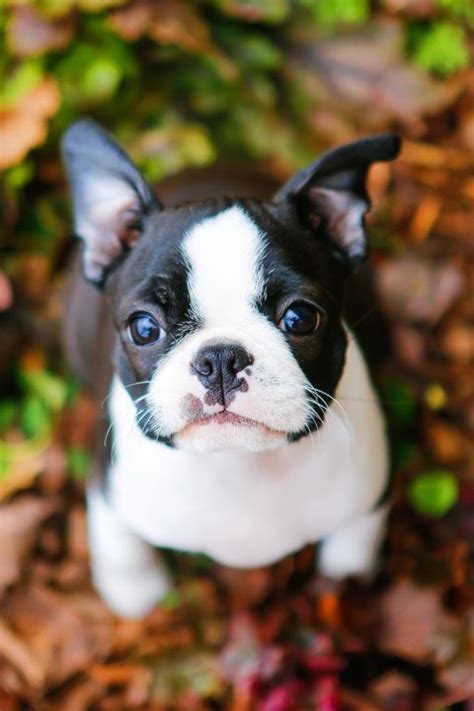 puppy boston terrier 17 best ideas about boston terriers on boston terrier pups boston