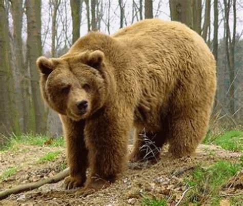 oso pardo oso pardo 0805069011 el oso pardo protagoniza dos nuevos partos en los pirineos