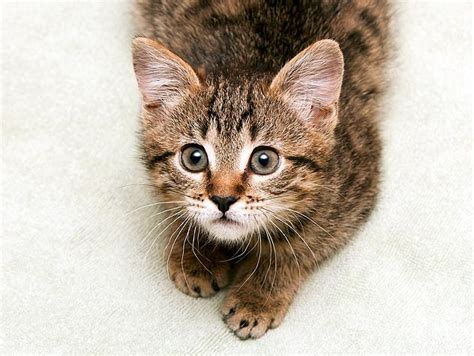what age to neuter a what age to neuter a cat uk cats