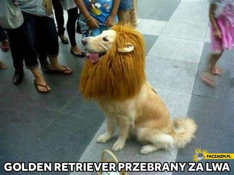 golden retriever ny golden retriever przebrany za psa paczaizm pl