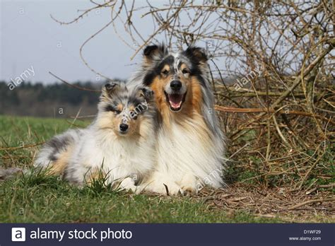 blue merle collie puppy blue merle collie www imgkid the image kid has it