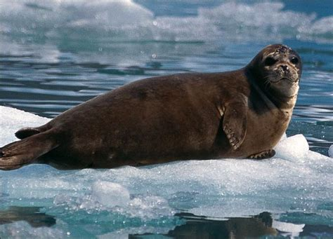 the sea l seal wildlife