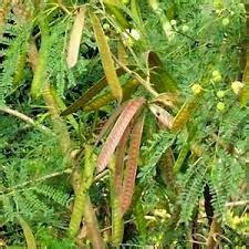 Obat Herbal Cina Untuk Amandel manfaat dan khasiat petai cina