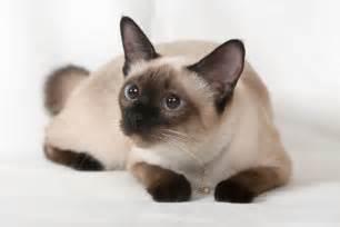 Siamese Cat | www.imgarcade.com - Online Image Arcade! Siamese