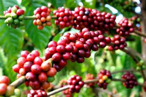 pohon kopi domestic coffee companies concede home market to foreign