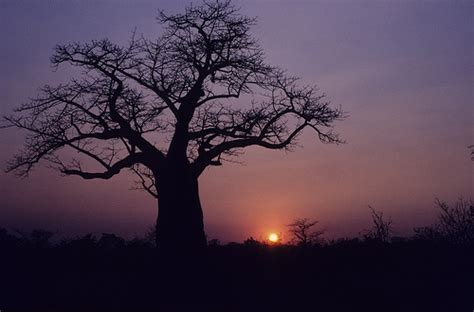 cool tree 16 cool pictures of baobab trees