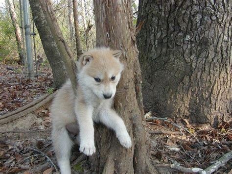 white wolf puppies discover and save creative ideas