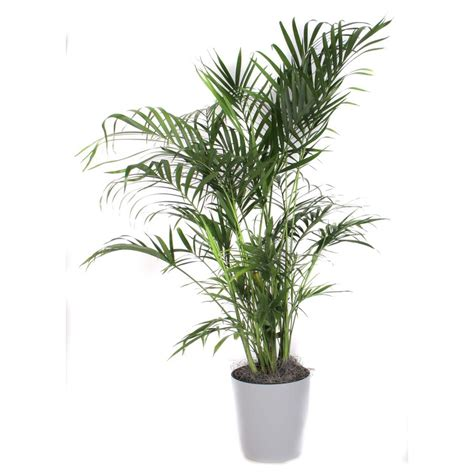 cateracterum palm shop 3 25 quart cat palm at lowes com