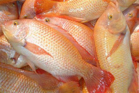 Bibit Ikan Nila Merah Bekasi patin sangkar pangsenam ikan tilapia sangkar