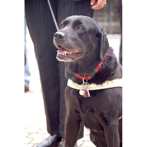 comfort animal law ada law comfort animal