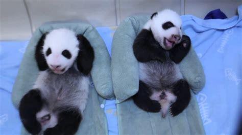 Baby Panda One 101 7 the one baby pandas