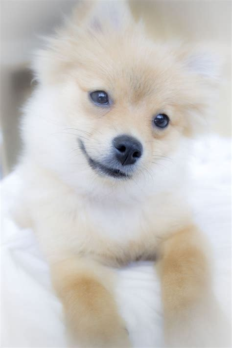 german spitz x pomeranian german spitz pomeranian mix breeds picture