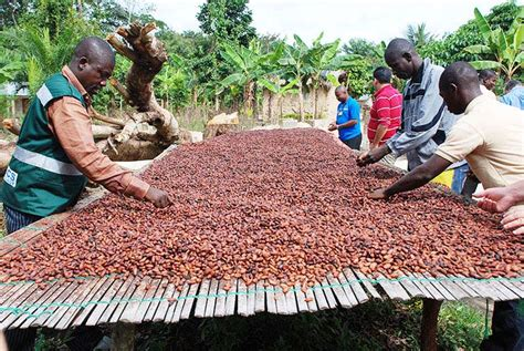 top cocoa beans producers in africa 2016