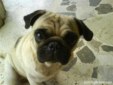 images of pug breed dogs wacky pug breeds