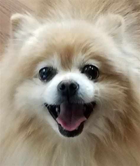pomeranian rescue miami pomeranian breed information
