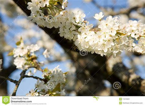 fiori di ciliegia fiori di ciliegia immagine stock immagine di crop fiori