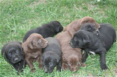 german shorthaired lab puppies german shorthaired lab german shorthaired pointer x lab mix info pictures