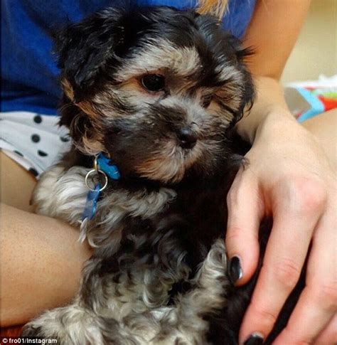 when do shih tzu stop growing sam rove mcmanus appear on a live streamed chat daily mail