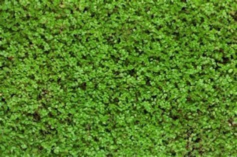 Plantes Tapissantes Sans Entretien by Astuce Alternative Gazon Plantes Couvr