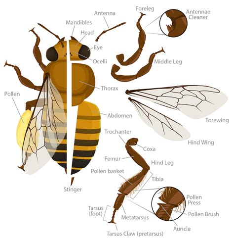 bumble bee diagram honey bee anatomy ask a biologist