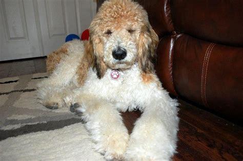 st bernard poodle puppies st berdoodle st bernard standard poodle mix info and pictures
